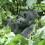 gorilla-1 thumbnail