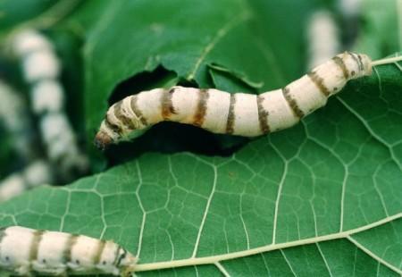 silkworm01