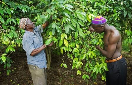 ugandacoffee05