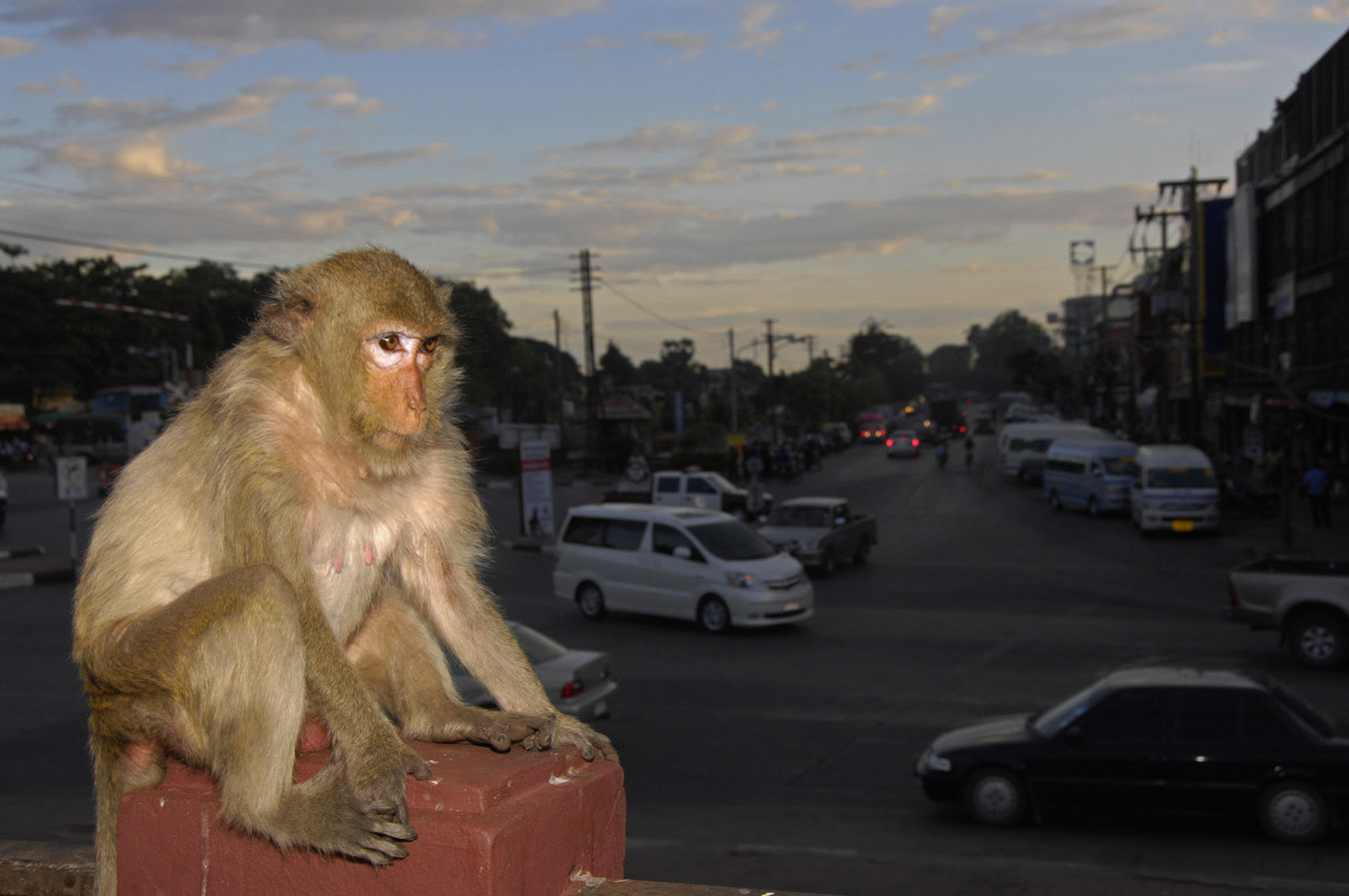 Richard Sobol S Story Of The Monkeys Of Lop Buri Thailand